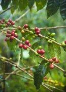 第三波精品咖啡 滤泡黑咖啡成主流 产区咖啡 单品磨豆机