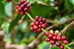 90+ 荷花锁情(Lotus Solkiln H2)蜜处理咖啡豆 无花果及蜂蜜的