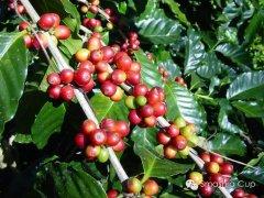 如何鉴别咖啡豆的品质评判咖啡豆优良的黄金标准 精品咖啡