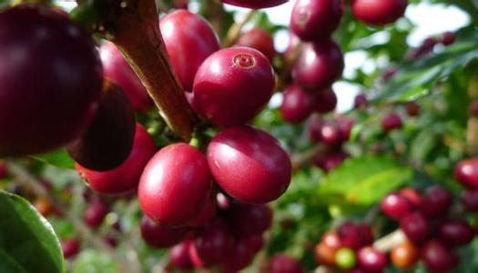 埃塞俄比亚咖啡豆是按照什么方式去分级的产地区介绍