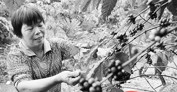 咖啡冷知识:海南咖啡年产量不足200吨 销量却达6000吨