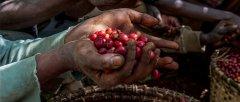 梅果香气的埃塞俄比亚单品西达摩水洗风味口感香气描述