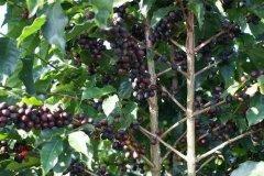 树上干果是什么意思?树上干果咖啡有什么风味特点?