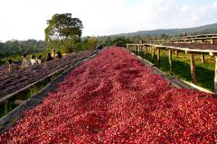 烛芒咖啡命名来源 烛芒咖啡豆风味调性 埃塞俄比亚西达摩日晒烛芒