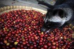 顶级麝香猫咖啡豆售价: $1980元 印尼最好的猫屎咖啡多少钱一杯