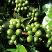 正宗蓝山咖啡多少钱 牙买加蓝山咖啡怎么喝 lims蓝山咖啡好喝吗