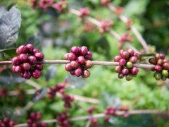 瑰夏村和瑰夏有区别吗 日晒耶加雪菲瑰夏村瑰夏咖啡的故事