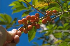 咖啡烘焙程度不同对风味的改变,选择自己喜欢喝的咖啡风味曲线