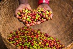 印尼70咖啡工厂金麒麟公豆咖啡怎么样 金麒麟公豆咖啡豆口感特点