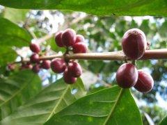 第三波咖啡文化  萨尔瓦多Bourbon/Pacamara/Pacas樱桃咖啡